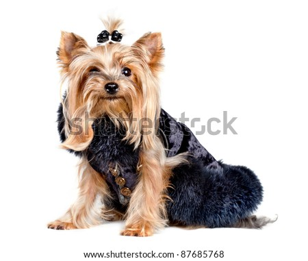 Yorkshire terrier dog in black clothes on white background