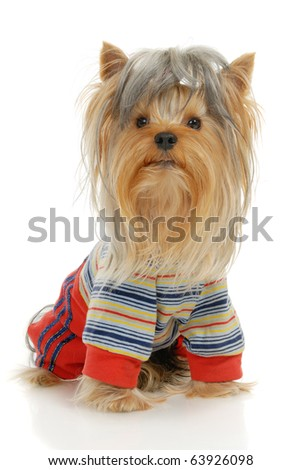 Yorkshire Terrier dog in front of a white background