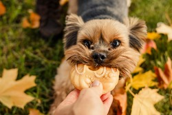 Yorkshire Terrier.Dog is symbol of New 2018 year, according to Chinese calendar, Year Of Yellow Earth Dog. Pet, dog, loyal friend of man. Walking in autumn park.