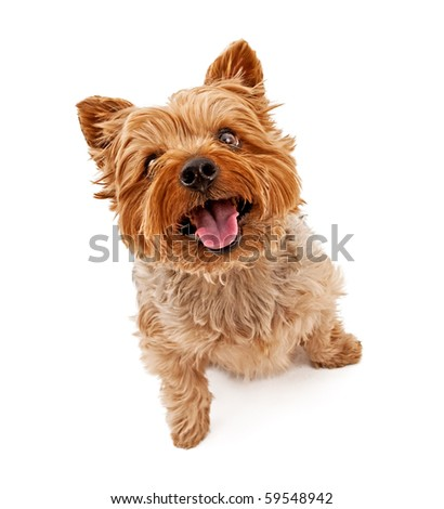 Yorkshire Terrier dog looking up and isolated on white.
