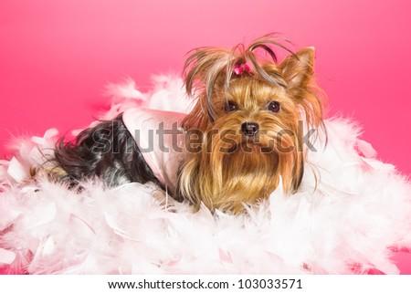 Yorkshire Terrier dog on pink background