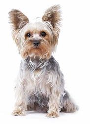 Yorkshire terrier dog over white background