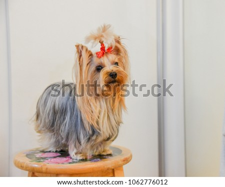 Yorkshire Terrier Dog - Puppy #1062776012