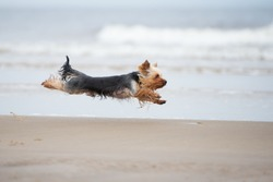 yorkshire terrier dog running on a beach