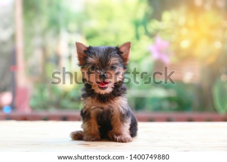 yorkshire terrier felling happy , Cute puppy yorkie stand on the wood table on the nature background with happy face