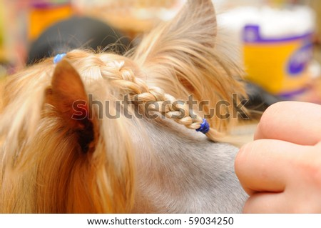 Haircuts For Yorkshire Terriers. yorkshire terrier getting