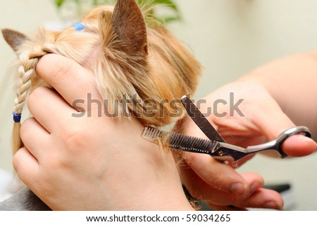yorkshire terrier  getting his hair cut at the groomer