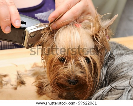 terrier haircuts yorkie hairstyles hair hairstyles 1103