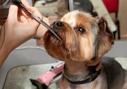 Yorkshire terrier haircut. Grooming by a professional groomer in the salon. Happy dog at the groomer. The groomer holds the dog with his hand. Pet haircut. Dog show