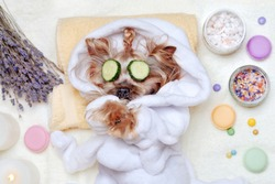 Yorkshire terrier having rest at SPA with cucumbers on eyes