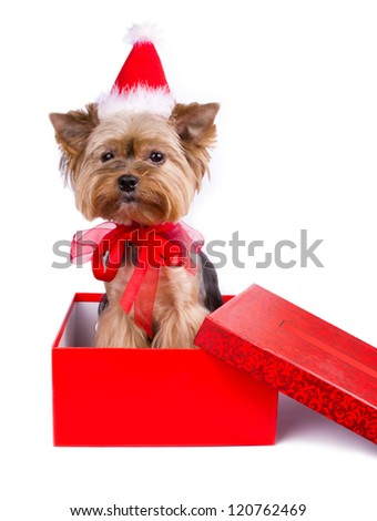 Yorkshire terrier in a red Christmas box