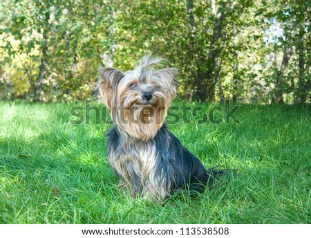 Yorkshire Terrier in city park