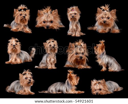 Yorkshire Terrier in front of a black background, studio shot