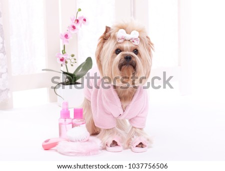 Yorkshire terrier in pink bath robe and slippers ready for a massage at the pet grooming salon spa
