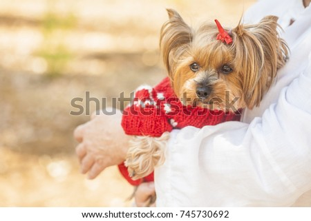Yorkshire terrier in red sweater #745730692