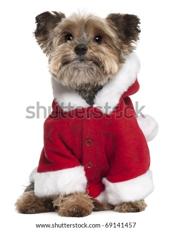Yorkshire Terrier in Santa outfit, 9 years old, sitting in front of white background