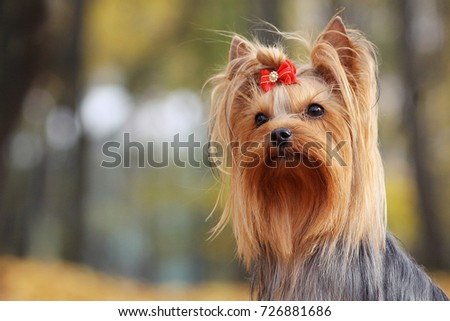 Yorkshire terrier in the gold autumn.