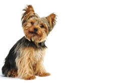 Yorkshire Terrier in White Studio