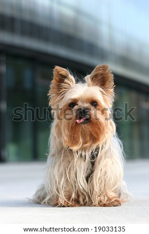 Yorkshire terrier lolling his tongue out