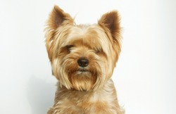 Yorkshire terrier looking at the camera, a portrait of a dog on a white background, a fluffy animal, a pet.