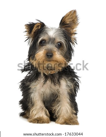 [Image: stock-photo-yorkshire-terrier-months-in-...633044.jpg]