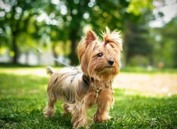 Yorkshire Terrier on a background of green grass. The dog is twelve years old