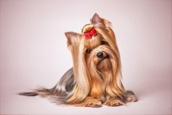 Yorkshire Terrier on a pink background