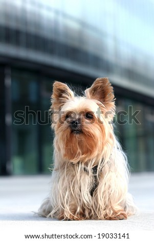 Yorkshire terrier on a walk in the city