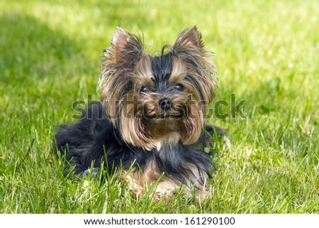 Yorkshire terrier on the grass #161290100