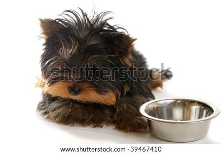 yorkshire terrier on the white background