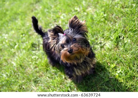 Yorkshire terrier outside on walk - stock photo