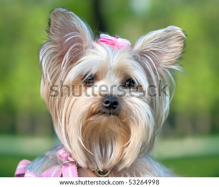 Silver Yorkshire Terrier