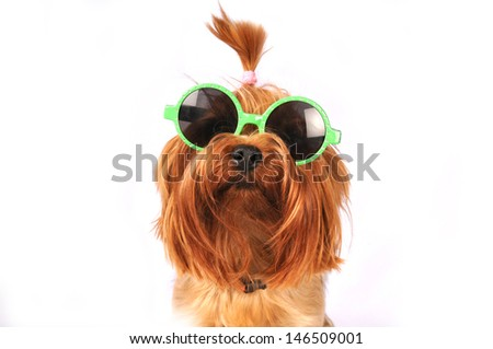 Yorkshire terrier portrait in green sunglasses closeup and isolated on white