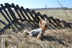 Yorkshire terrier posing on the background of a wooden fence in nature. The dog walks on the street. A beautiful and small dog is a friend of man. Yorkshire Terrier in the rays of the sun.