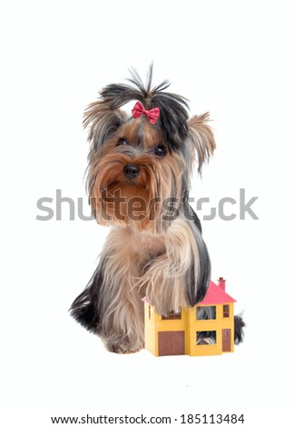 Yorkshire terrier protects the house like a faithful watchdog