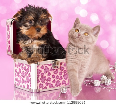 Yorkshire Terrier puppie  and british  kitten, cat and dog
