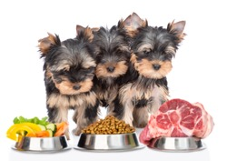 Yorkshire Terrier puppies look at varied food for pets. isolated on white background