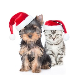 Yorkshire Terrier puppy and gray kitten wearing red christmas hats sit together. isolated on white background