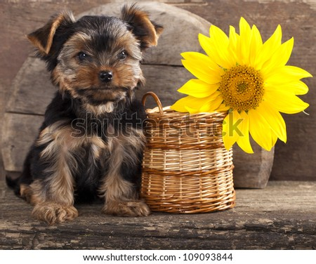 yorkshire terrier  puppy and sunflower