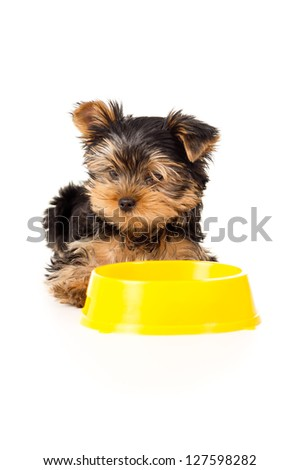 Yorkshire terrier puppy eats small isolated
