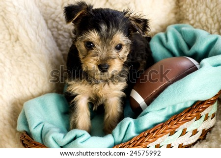 Yorkshire Terrier Puppy in basket with green blanket and toy football, beige background copy space