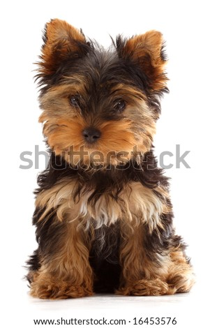 yorkshire terrier puppy isolated on white