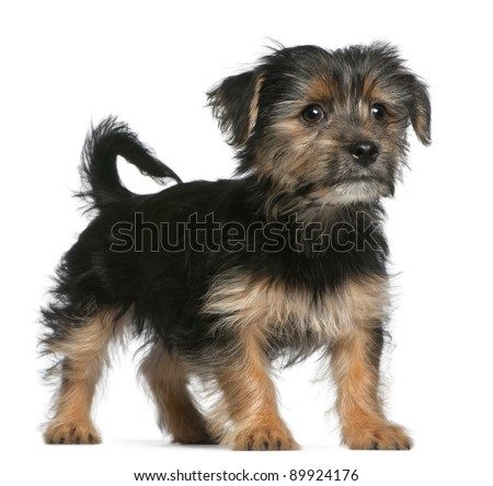 Yorkshire Terrier Puppy 3 Months Old Standing In Front Of White