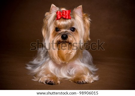 Yorkshire terrier puppy on background