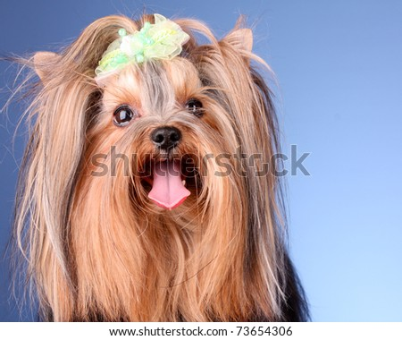 Yorkshire Terrier puppy on blue background