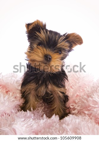 Yorkshire Terrier puppy on pink isolated