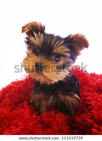 Yorkshire Terrier puppy on red isolated - stock photo