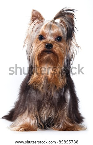 Yorkshire terrier puppy on white - stock photo