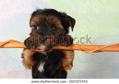 Yorkshire terrier puppy paws based on crossbar