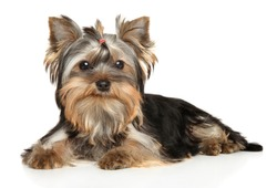 Yorkshire Terrier puppy posing on a white background